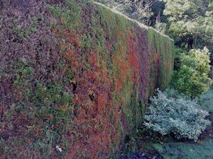 Leylandii hedge need removing